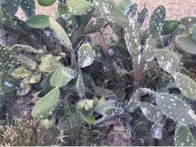 الحشرة القرمزية بأقليم سيدي افني تجتاح فاكهة الصبار